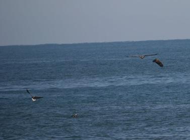 オジロワシ3羽でカモメにアタック