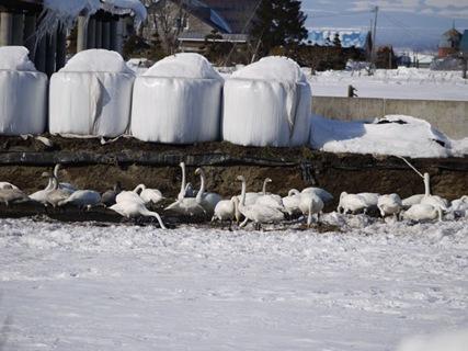 白鳥の採餌