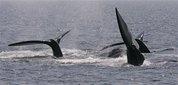 capt_b441beec221d43a19df59d27b51d575e_listening_for_whales_mass212